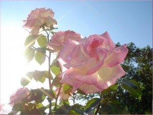 Beau jour de printemps... rose-300x225