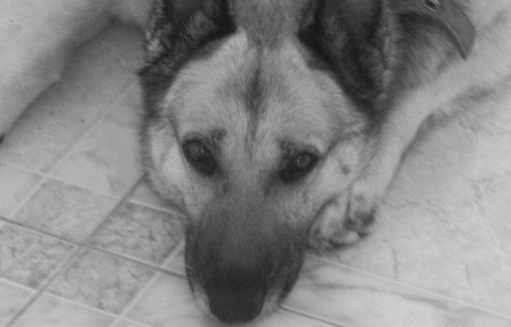 « Les chiens ne nous abandonnent que pour mourir, mais ils nous laissent leur merveilleux souvenir pour éclairer le reste de notre chemin. » dans Citations 33495_145101415510153_100000308862868_314012_3841092_n